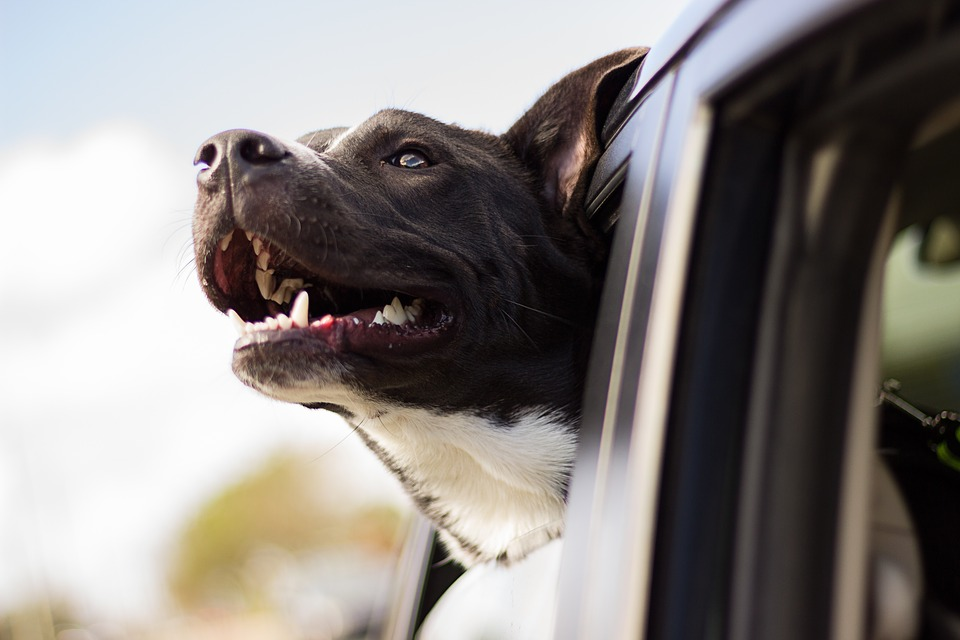 Dog gets ready for a summer road trip